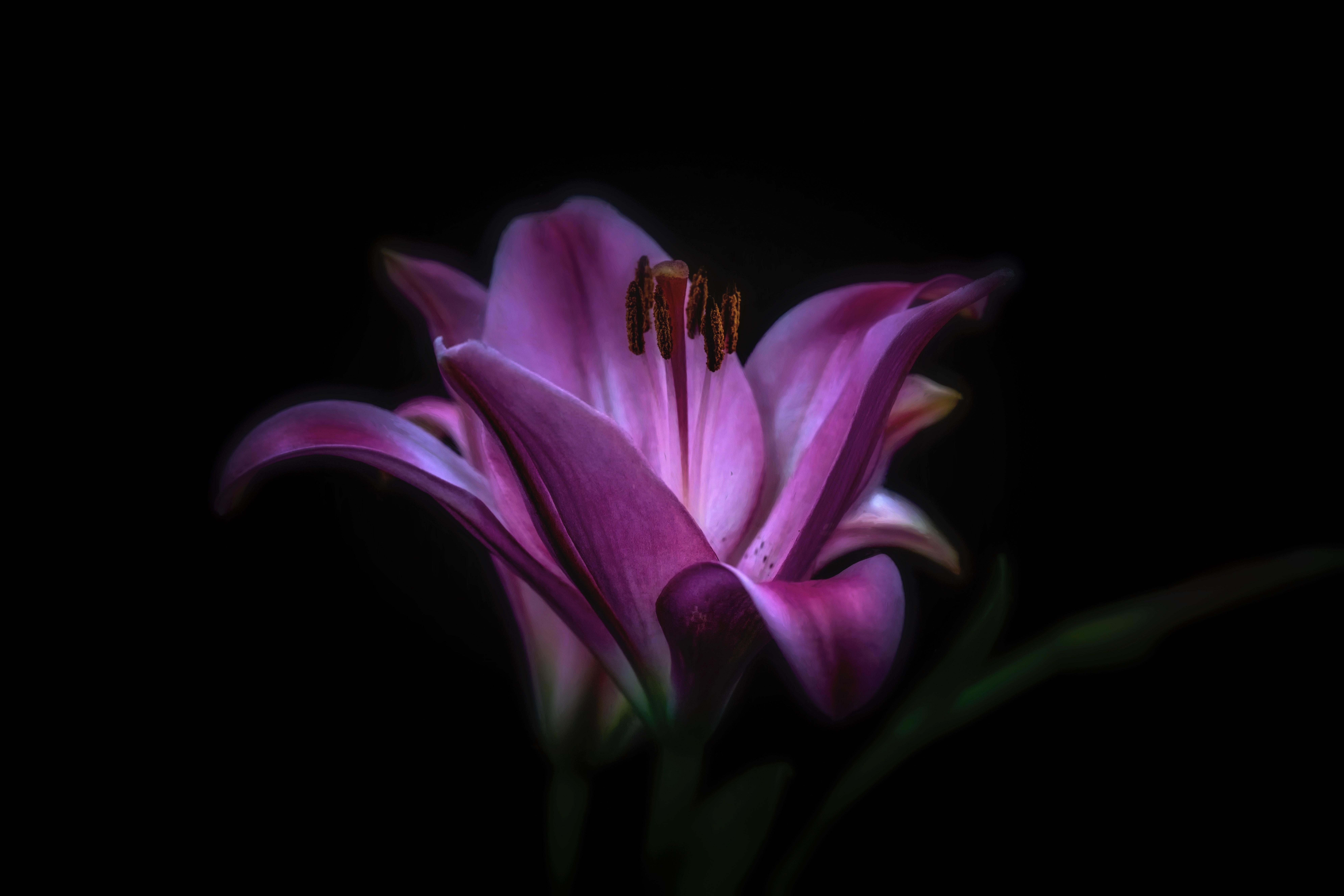 Purple lilies 8k ultra hd wallpaper background image 7952x5304 lily purple flower wallpapers id872778 izmirmasajfo