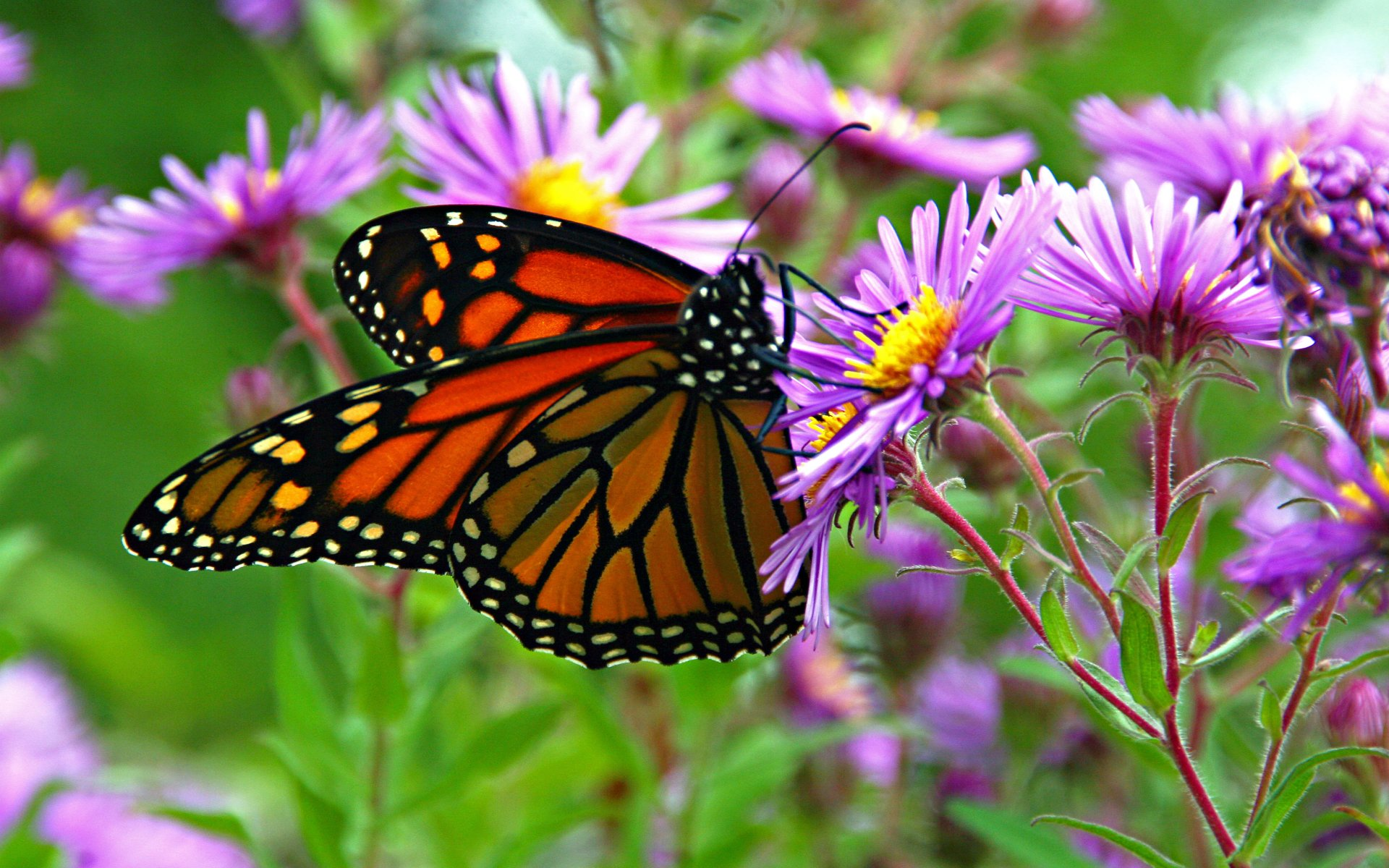 Monarch Butterfly 4k Ultra HD Wallpaper | Background Image ...