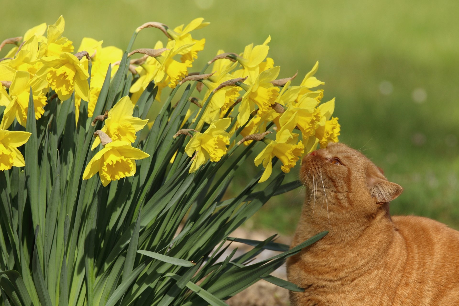 Animal - Cat  Pet Flower Summer Yellow Flower Daffodil Wallpaper
