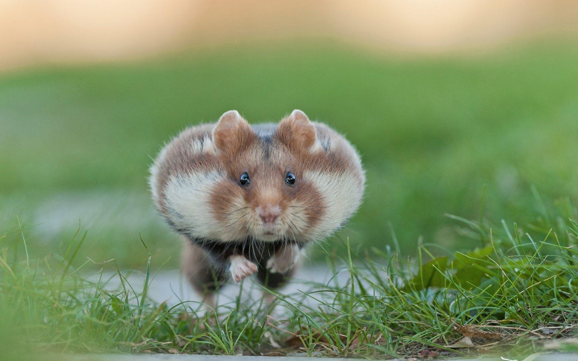 Hamster free mobile com