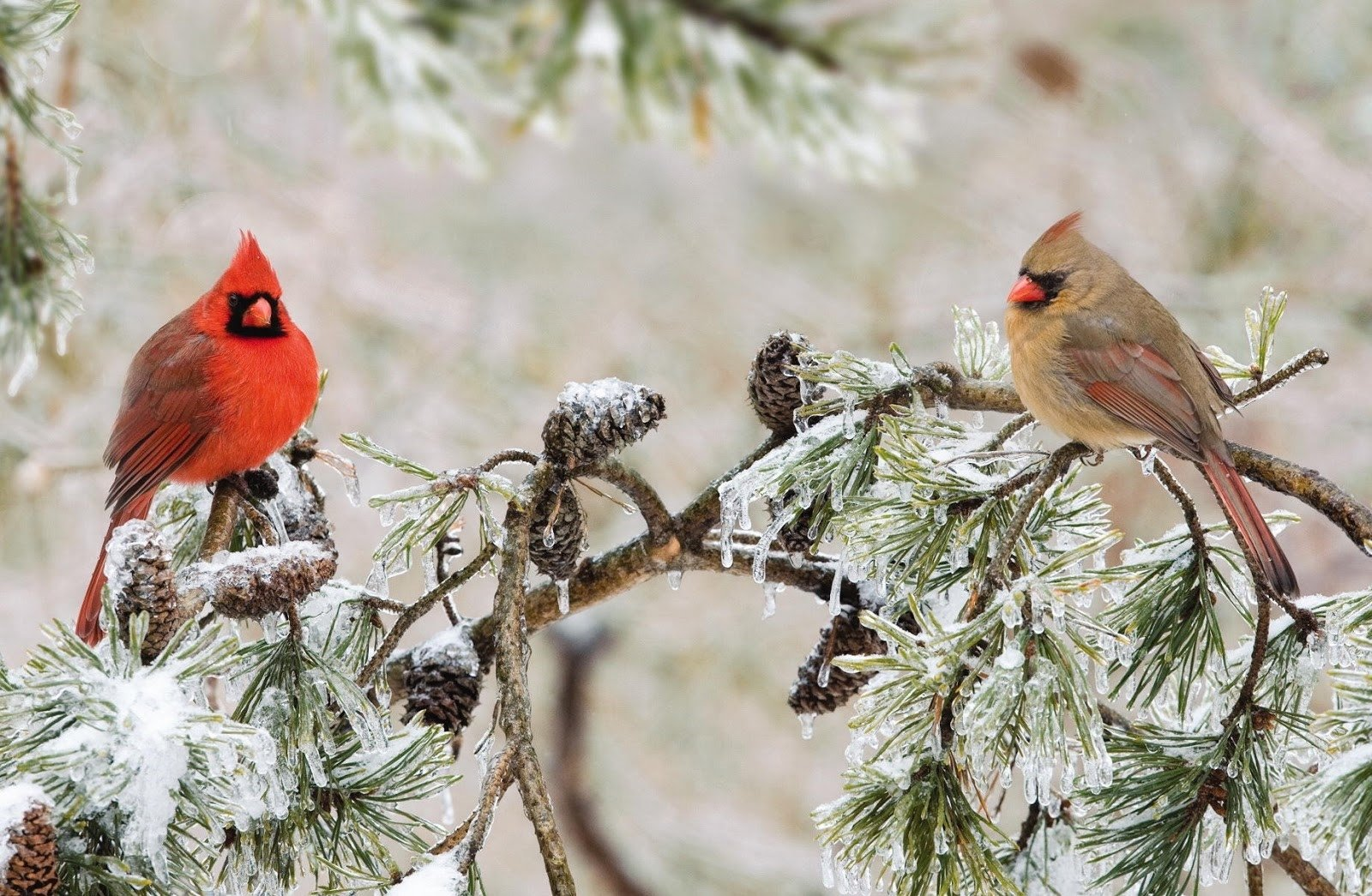 Male and female northern cardinals in winter tree - Winter cardinal background ...