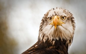 Animal - Eagle Wallpapers and Backgrounds ID : 88902