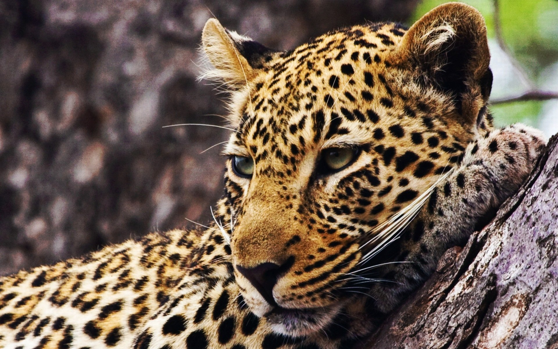 Leopard HD Wallpaper | Background Image | 1920x1200 | ID ...