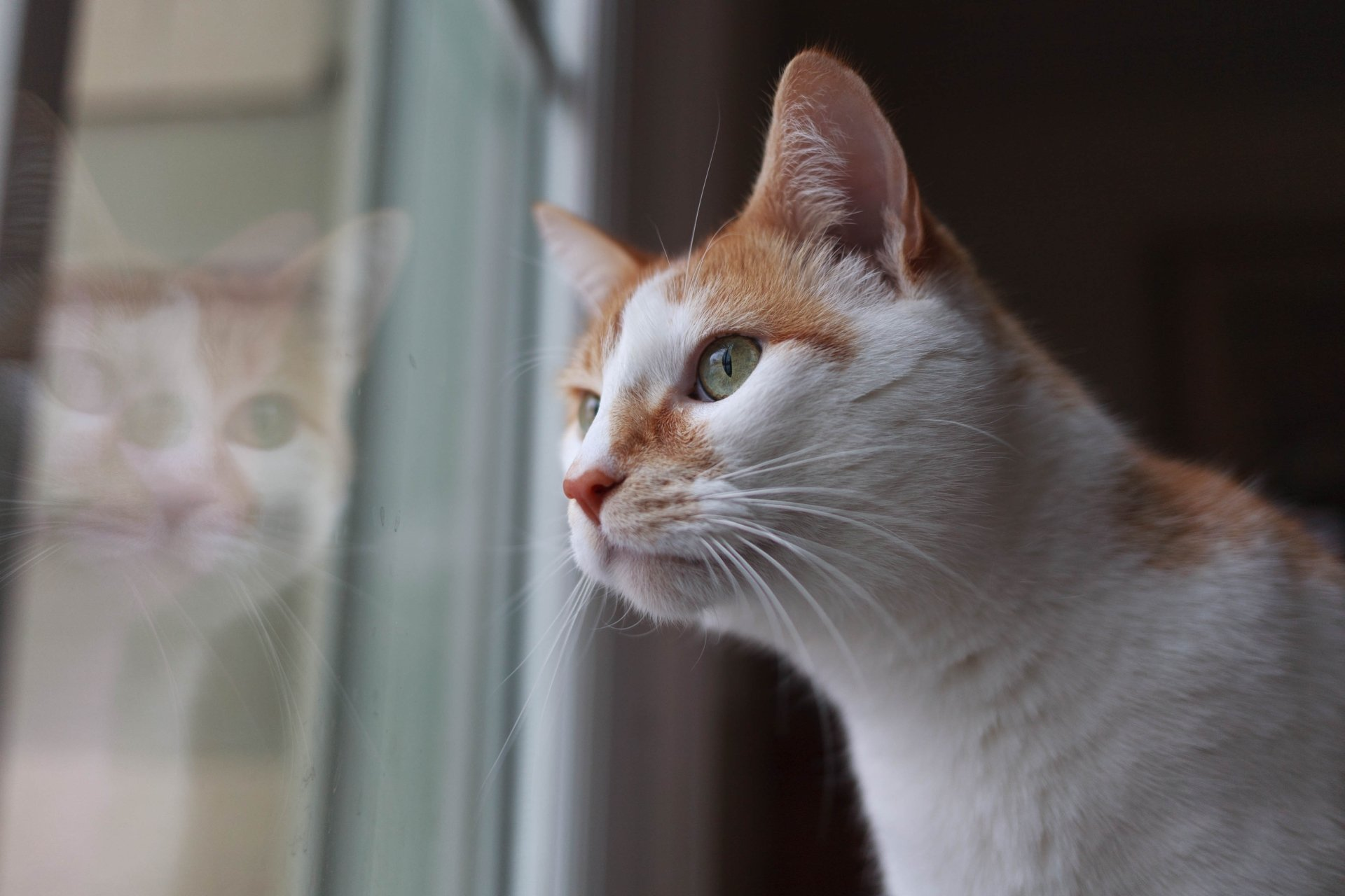 Animal - Cat  Pet Wallpaper