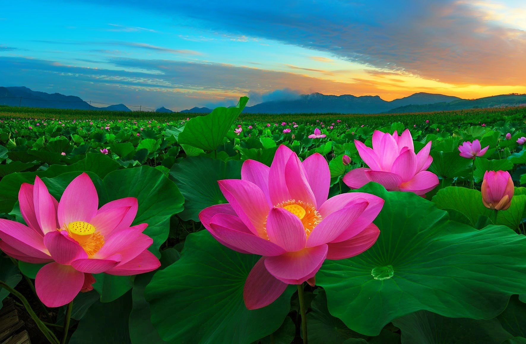 Pink Lotus Flowers Wallpaper and Background Image | 1772x1159