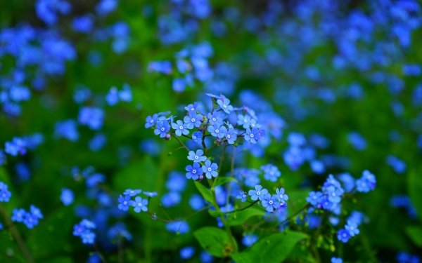 Earth Forget-Me-Not Flowers Flower Blue Flower HD Wallpaper | Background Image