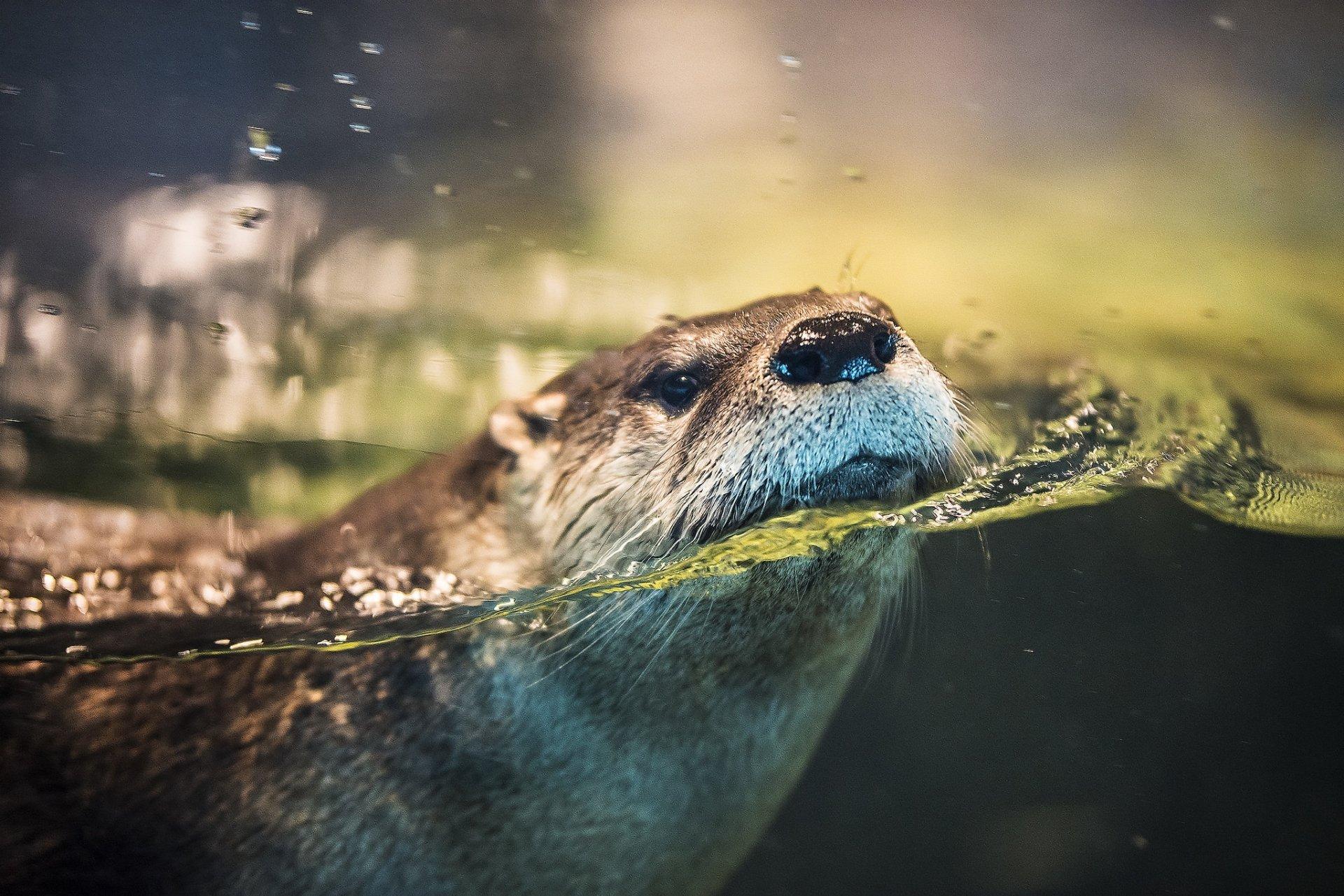 Animal - Otter  Wildlife Water Wallpaper