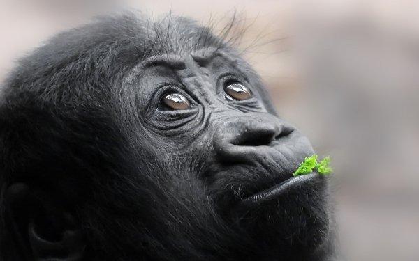 Animal Gorilla Monkeys Ape Monkey Baby Animal HD Wallpaper | Background Image