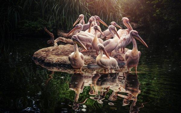 Animal Pelican Birds Pelicans Bird Reflection Wildlife HD Wallpaper | Background Image