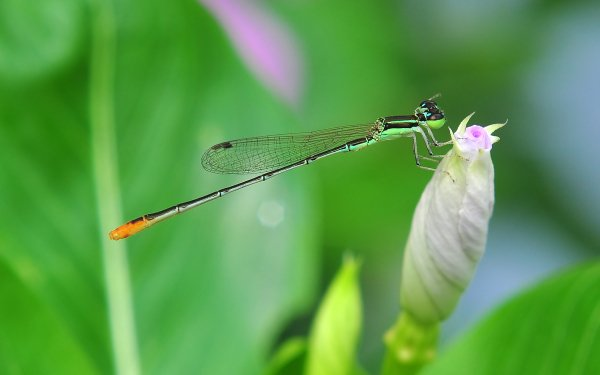 Animal Insect Pigmy Dartlet Damselfly HD Wallpaper | Background Image