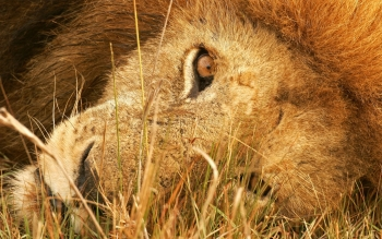 Animal - Lion Wallpapers and Backgrounds ID : 92922