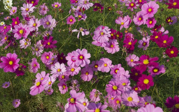 Earth Cosmos Flowers Flower Pink Flower HD Wallpaper   Background Image
