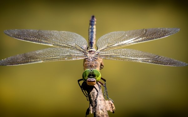 Animal Dragonfly Insects Insect Close-Up HD Wallpaper | Background Image