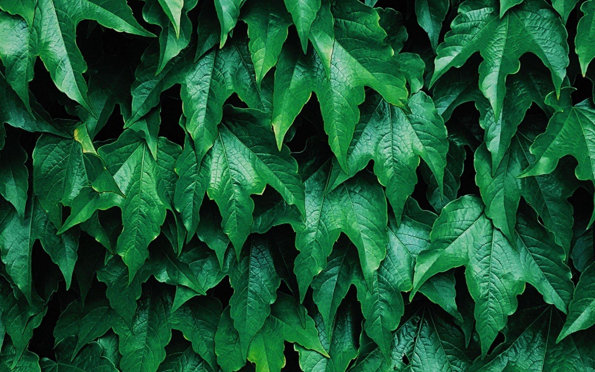 Green Leaves Fondo De Pantalla Hd Fondo De Escritorio