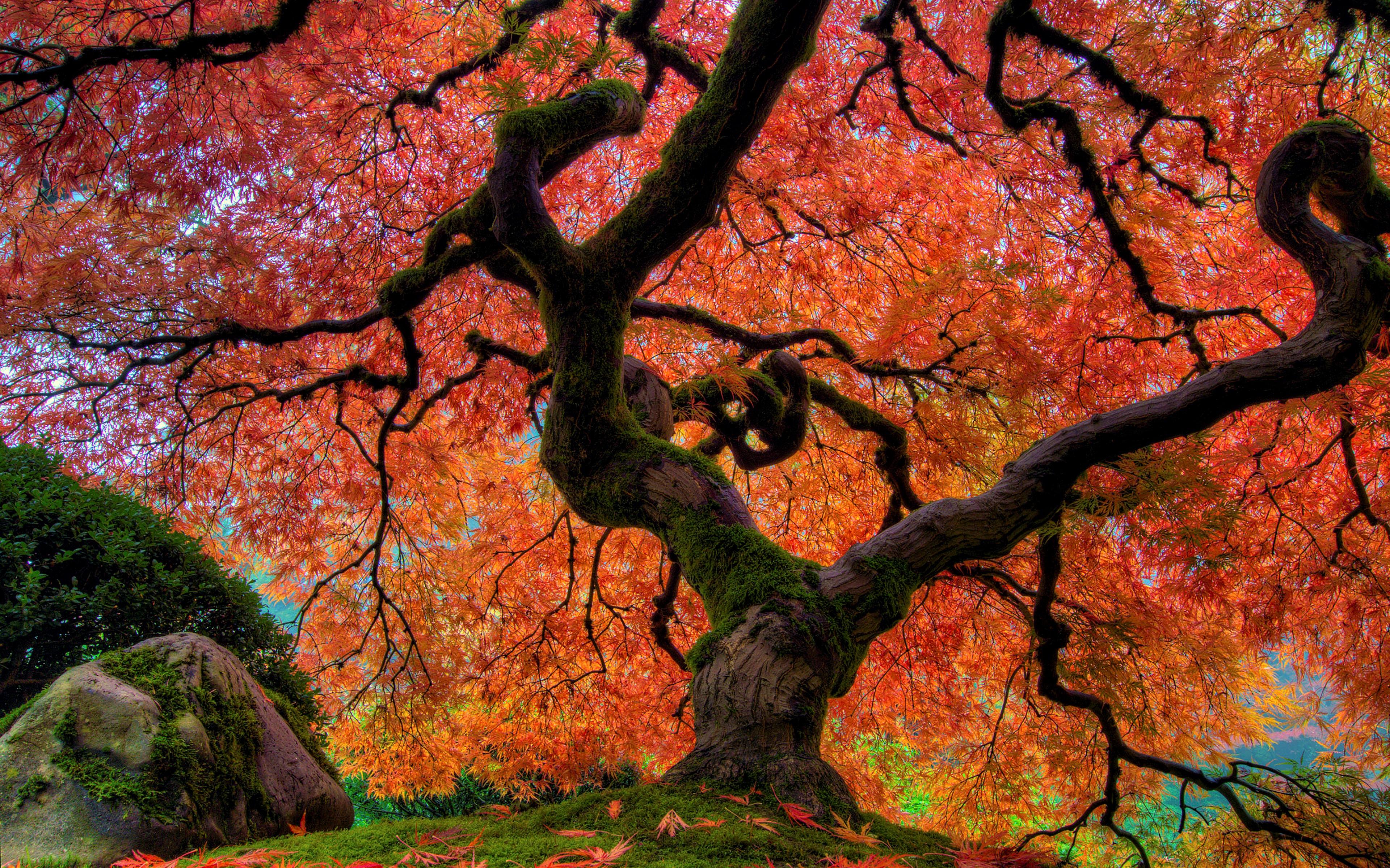 Giant Oak Tree In Japanese Garden 4k Ultra Fondo De Pantalla