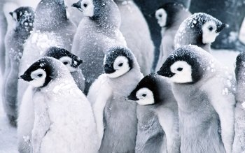 Animal - Penguin Wallpapers and Backgrounds ID : 95850