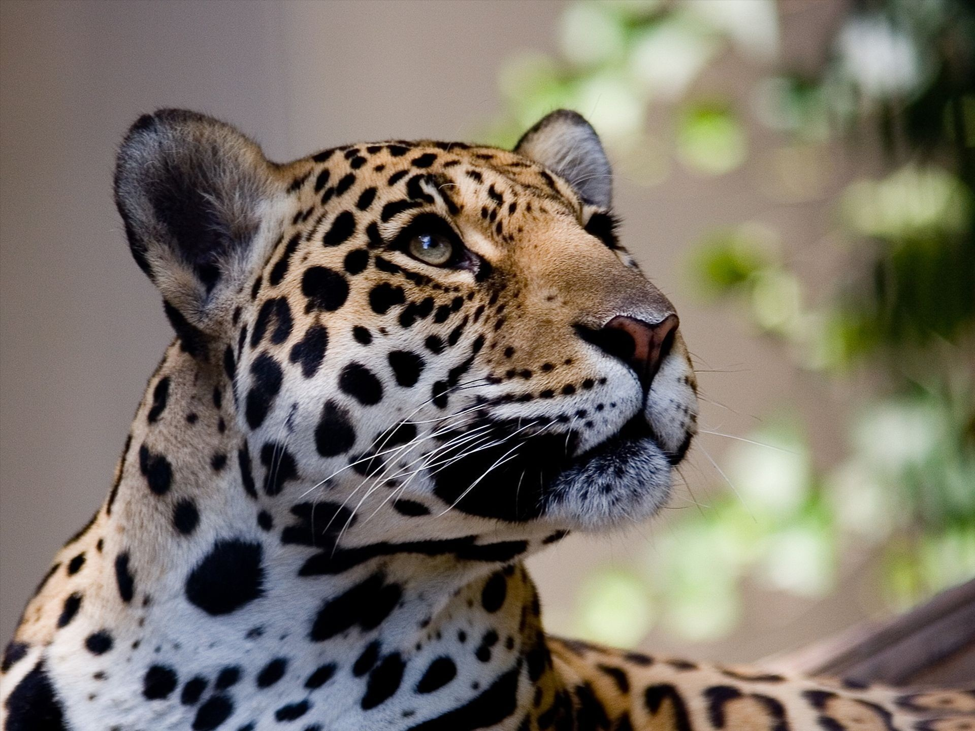 Jaguar 39 s gaze full hd wallpaper and background image - Jaguar animal hd wallpapers ...