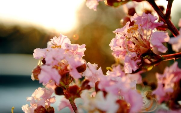 Tierra/Naturaleza Florecer Flores Primavera Pastel Sakura Flor Cherry Blossom Fondo de pantalla HD | Fondo de Escritorio