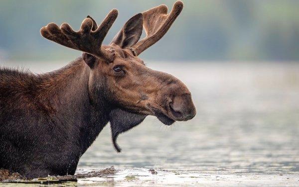Animal Moose Wildlife HD Wallpaper | Background Image