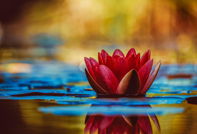Lotus Fond D Ecran Hd Arriere Plan 3000x2043 Id 972029 Wallpaper Abyss