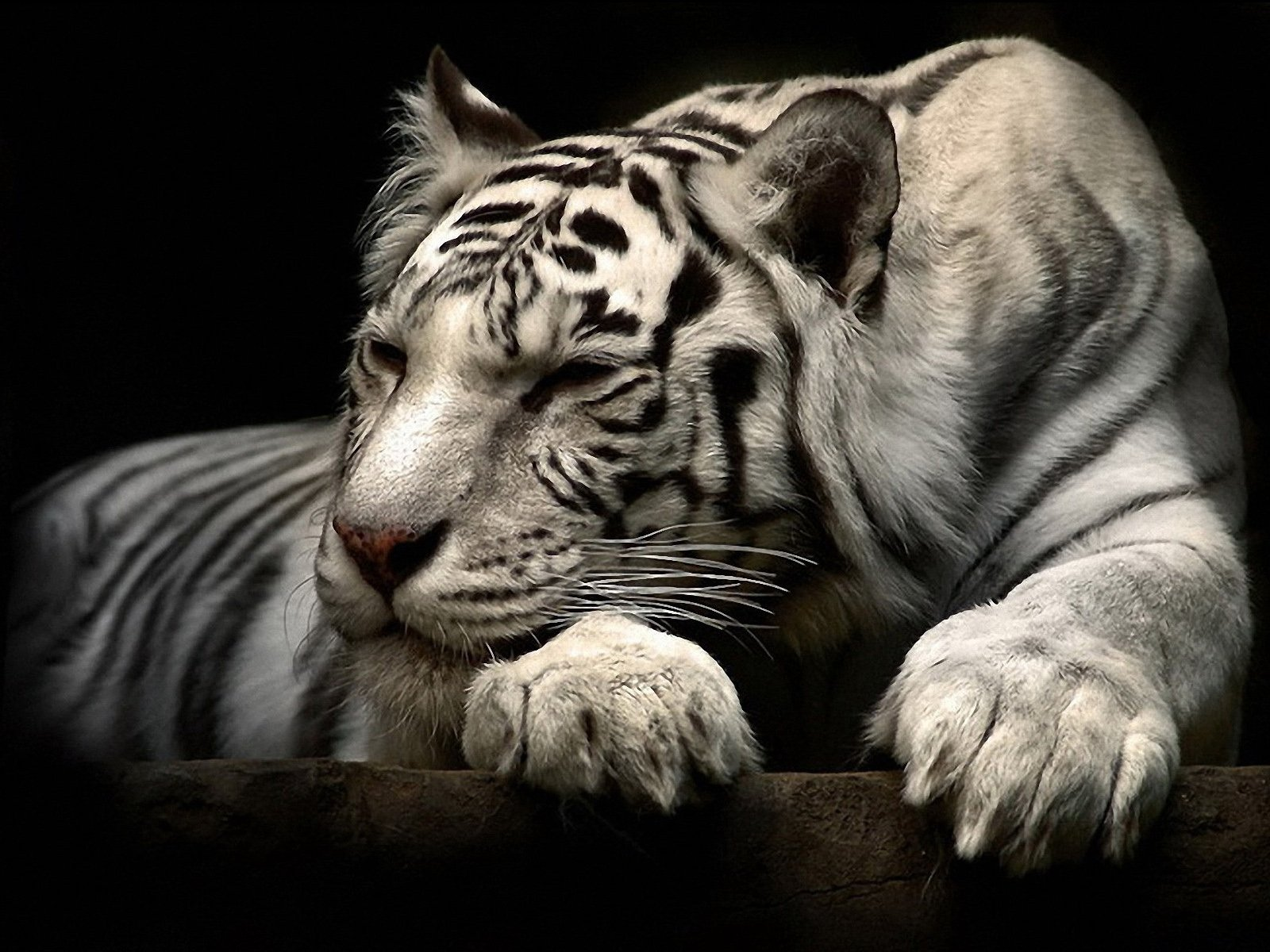Animal - White Tiger  Animal Fur Stripes Tiger Whiskers Predator (Animal) Big Cat Beautiful Wallpaper