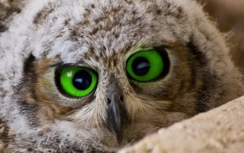Animal - Owl Wallpapers and Backgrounds ID : 97982