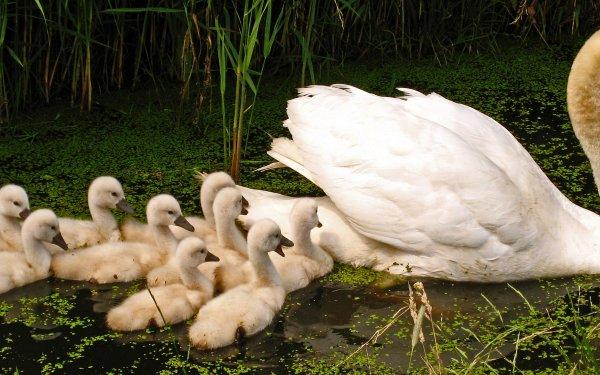 Animal Swan Birds Swans Bird Wildlife Baby Animal Cygnet HD Wallpaper | Background Image