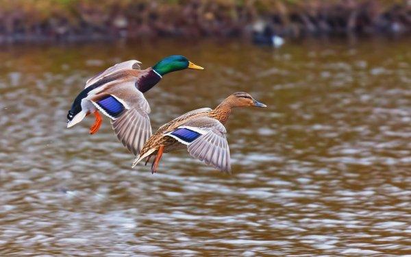Animal Mallard Birds Ducks Duck HD Wallpaper | Background Image