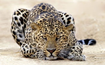 Animal - Leopard Wallpapers and Backgrounds ID : 99540